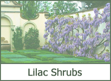 lilac bushes shrubs trees designs ideas types pictures