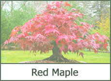 red maple trees for landscaping designs ideas photos