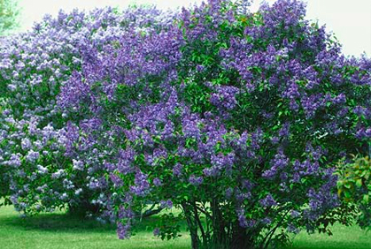 Best Liliac Plant Types Garden Designs Pictures