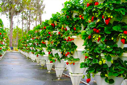 Best Strawberry Garden Fruit Plants Photos Amp Grow Tips