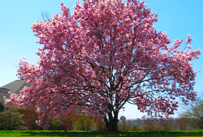 Best Dogwood Trees Types Facts Amp Pictures Of Landscapin