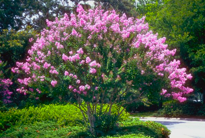 Fast growing trees shrubs pictures landscaping ideas for Small to medium trees for garden
