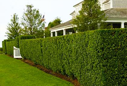 Best types of hedges for landscaping designs pictures i for Garden design ideas with hedges