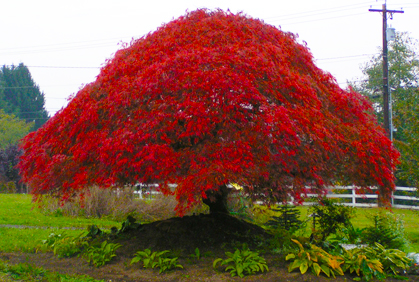 Best ornamental trees for landscaping pictures ideas for Popular small trees