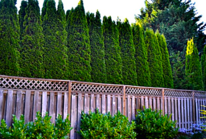 Best Privacy Trees Hedges U0026 Shrubs With Landscaping Ide