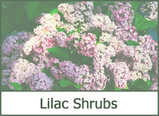 Beautiful lilac bushes shrubs trees designs ideas types pictures