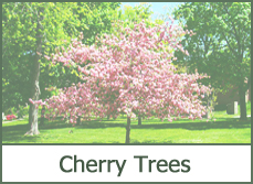 cherry tree varities types photos ideas planting growing tips