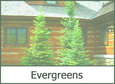 evergreen landscaping designs ideas pictures