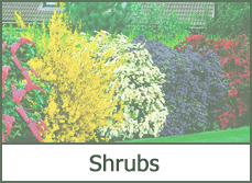 landscaping shrubs
