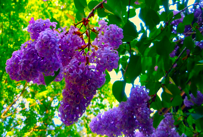 Types of Lilac Bushes