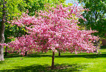Best Types Of Cherry Trees For Landscaping Photos Amp Ide