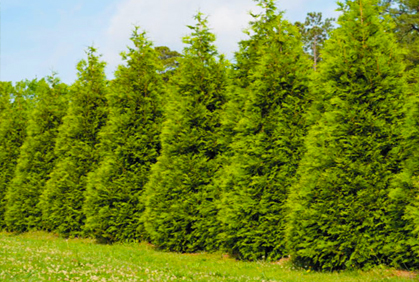 Types of Evergreens