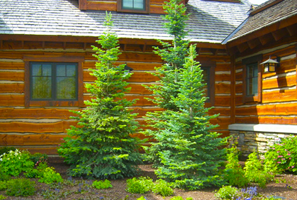 Photos Evergreen Trees Amp Shrubs For Landscaping Design