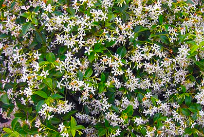 Flowering Bushes & Shrubs