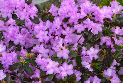 Pictures Of Best Flowering Shrubs Bushes Types Of Plant
