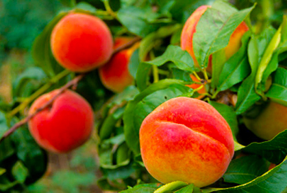 Landscape Fruit Trees