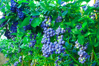 Fruit Bushes & Shrubs