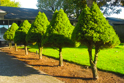 Landscaping Evergreen Shrubs