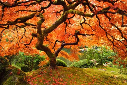 Landscaping with Maple Trees