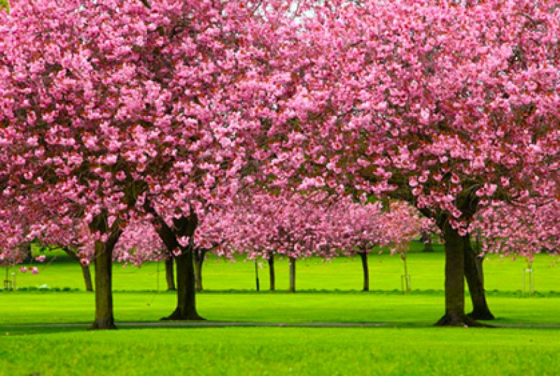 Flowering Trees & Shrubs