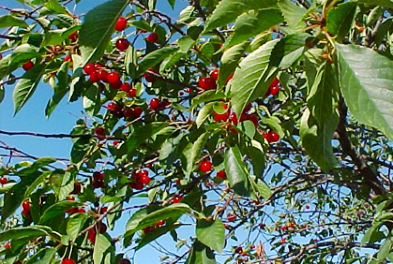 Growing Cherry Trees