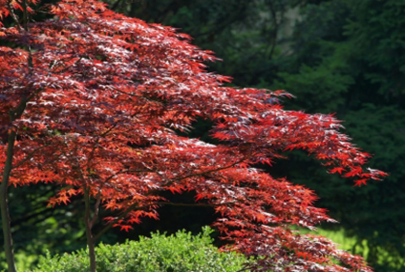 Maple Trees for Landscaping